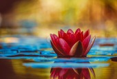 water-lily-3784022_1280